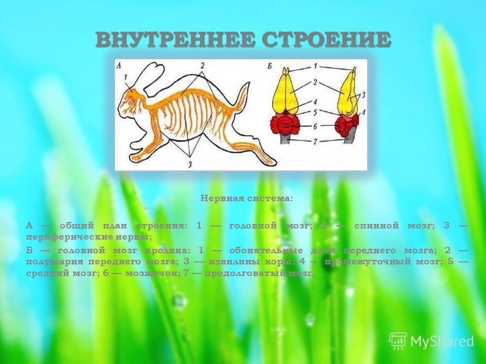 ВНУТРЕННЕЕ СТРОЕНИЕ Нервная система: А общий план строения: 1 головной мозг; 2 спинной мозг; 3 периферические нервы; Б головной мозг кролика: 1 обонятельные доли переднего мозга; 2 полушария переднего мозга; 3 извилины коры; 4 промежуточный мозг; 5 с