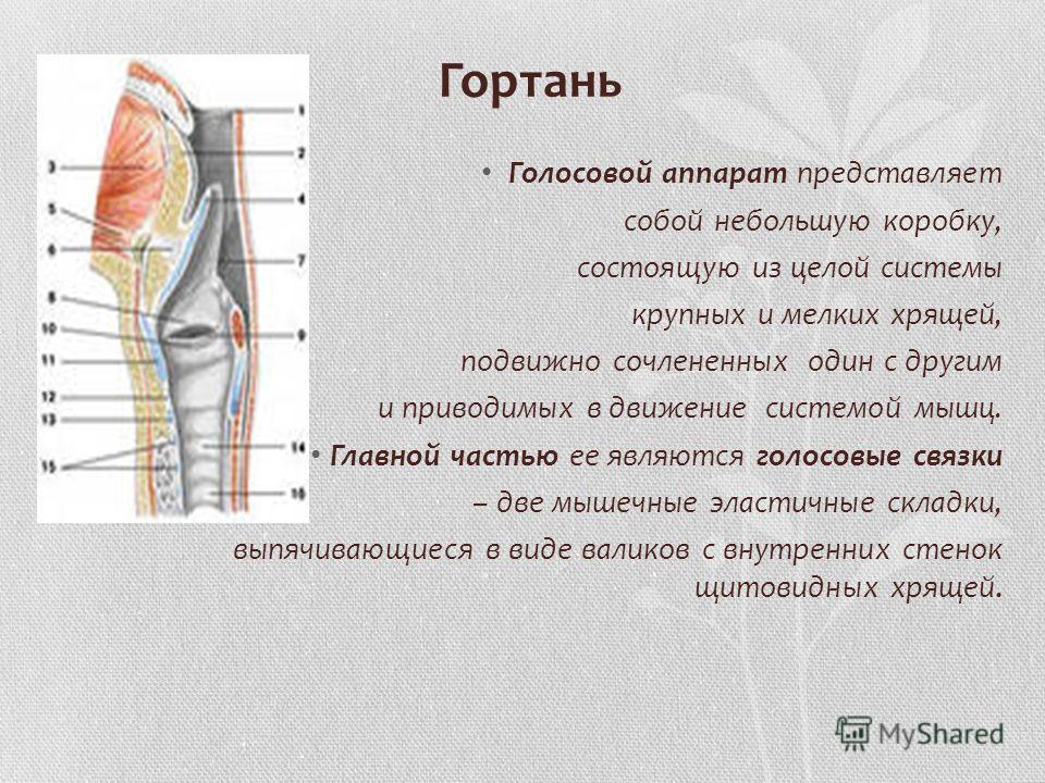 Гортань Голосовой аппарат представляет собой небольшую коробку, состоящую из целой системы крупных и мелких хрящей, подвижно сочлененных один с другим и приводимых в движение системой мышц. Главной частью ее являются голосовые связки – две мышечные э