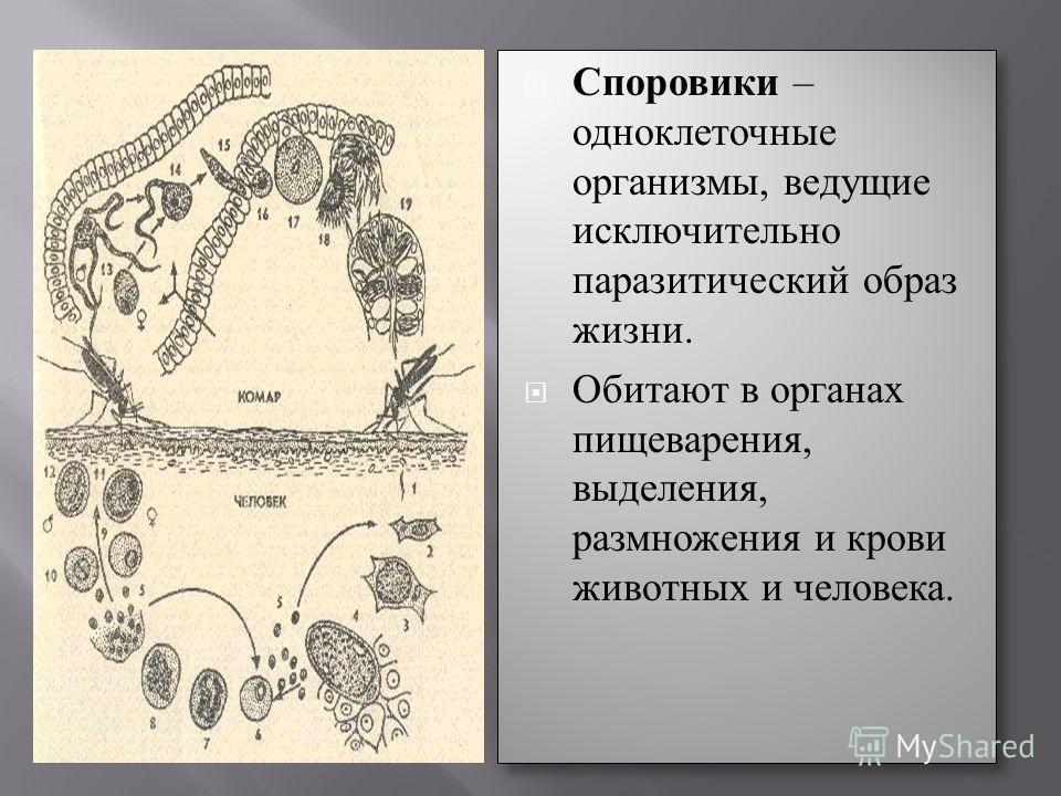 Споровики – одноклеточные организмы, ведущие исключительно паразитический образ жизни. Обитают в органах пищеварения, выделения, размножения и крови животных и человека. Споровики – одноклеточные организмы, ведущие исключительно паразитический образ