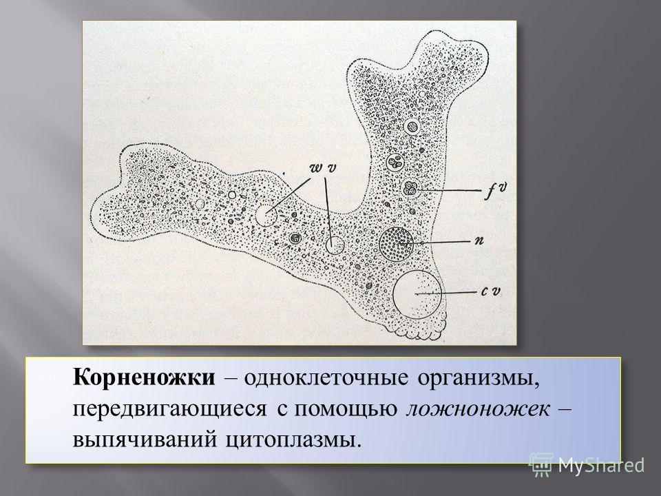Корненожки – одноклеточные организмы, передвигающиеся с помощью ложноножек – выпячиваний цитоплазмы.