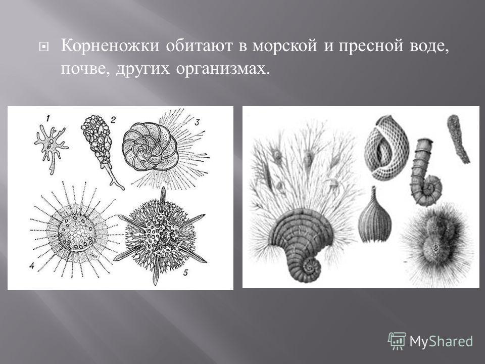 Корненожки обитают в морской и пресной воде, почве, других организмах.