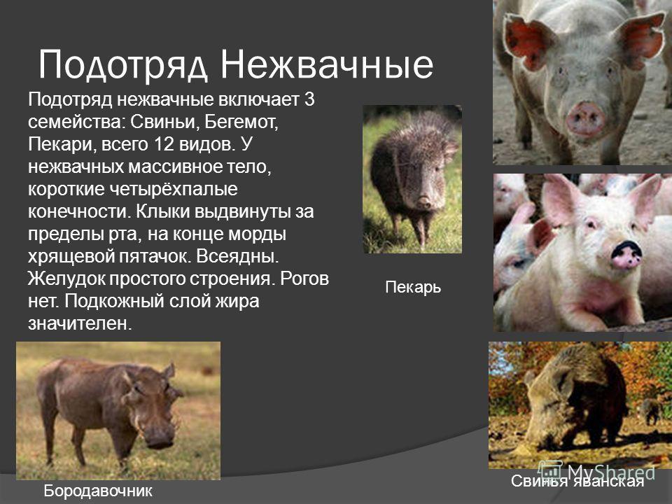 Подотряд Нежвачные Подотряд нежвачные включает 3 семейства: Свиньи, Бегемот, Пекари, всего 12 видов. У нежвачных массивное тело, короткие четырёхпалые конечности. Клыки выдвинуты за пределы рта, на конце морды хрящевой пятачок. Всеядны. Желудок прост