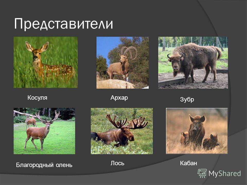 Представители Косуля Архар Зубр Благородный олень Лось Кабан