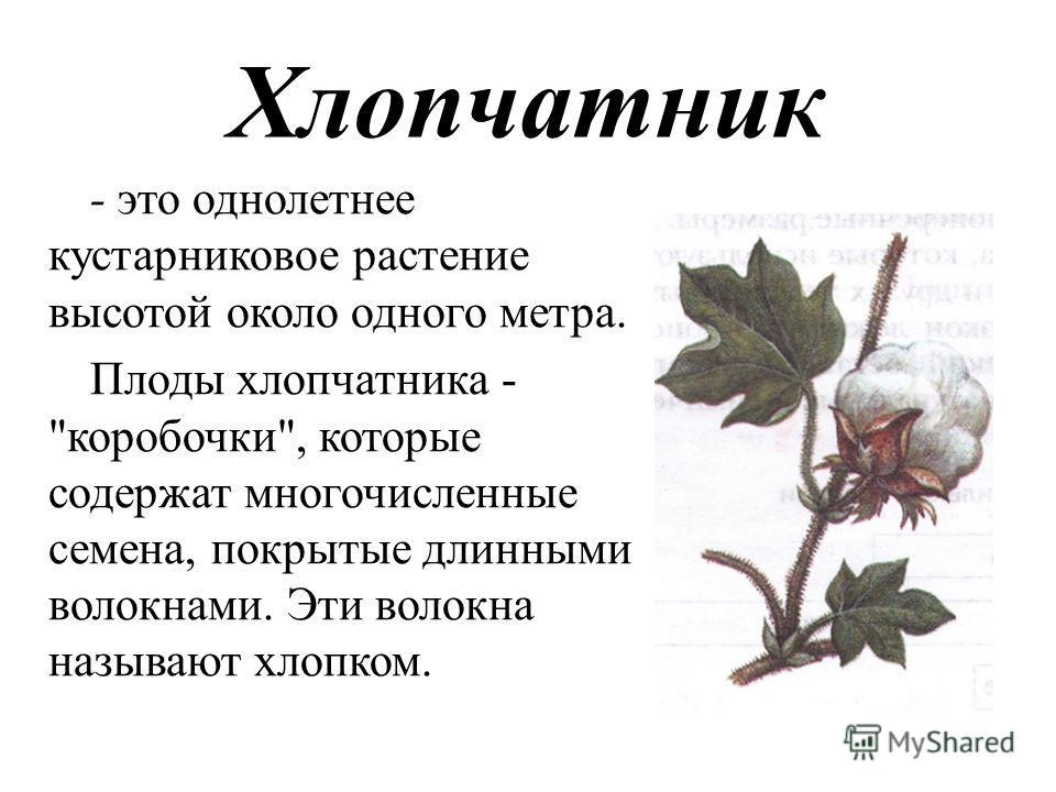 Хлопчатник - это однолетнее кустарниковое растение высотой около одного метра. Плоды хлопчатника - коробочки, которые содержат многочисленные семена, покрытые длинными волокнами. Эти волокна называют хлопком.