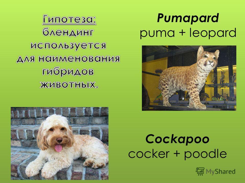 Pumapard puma + leopard Cockapoo cocker + poodle