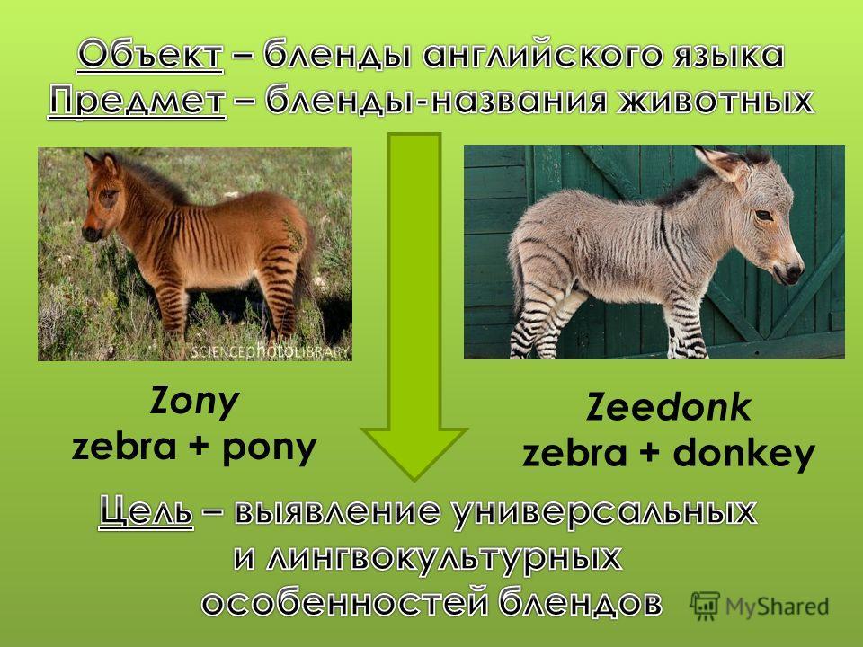Zony zebra + pony Zeedonk zebra + donkey