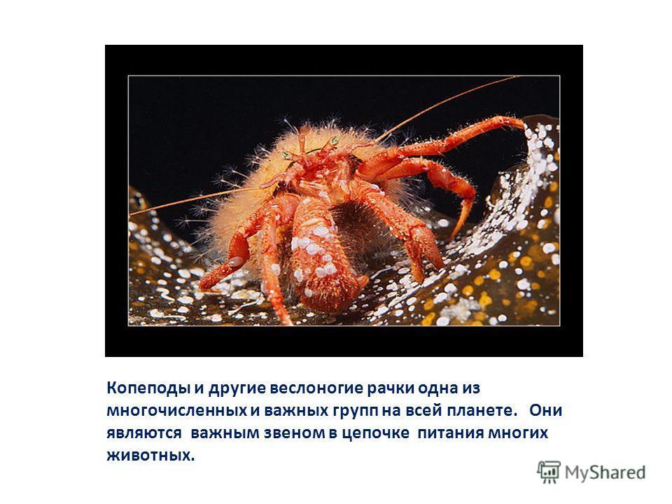 Копеподы и другие веслоногие рачки одна из многочисленных и важных групп на всей планете. Они являются важным звеном в цепочке питания многих животных.