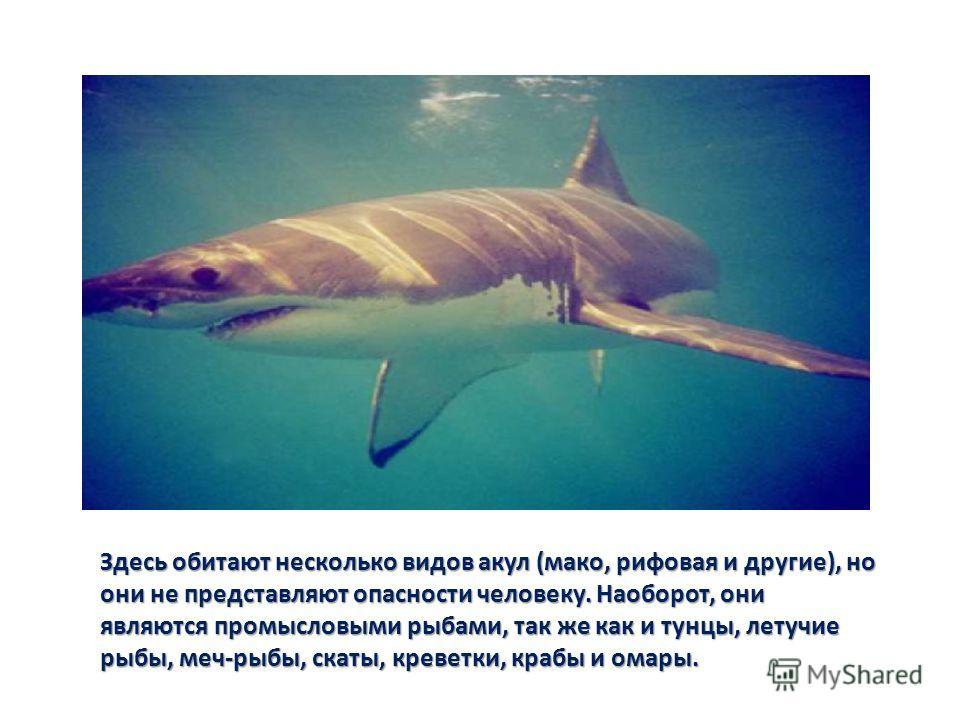 Здесь обитают несколько видов акул (мако, рифовая и другие), но они не представляют опасности человеку. Наоборот, они являются промысловыми рыбами, так же как и тунцы, летучие рыбы, меч-рыбы, скаты, креветки, крабы и омары.