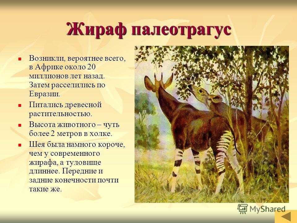 Жираф палеотрагус Возникли, вероятнее всего, в Африке около 20 миллионов лет назад. Затем расселились по Евразии. Возникли, вероятнее всего, в Африке около 20 миллионов лет назад. Затем расселились по Евразии. Питались древесной растительностью. Пита