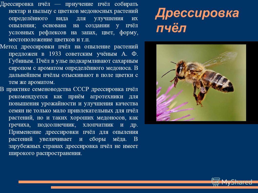 Дрессировка пчёл Дрессировка пчёл приучение пчёл собирать нектар и пыльцу с цветков медоносных растений определённого вида для улучшения их опыления; основана на создании у пчёл условных рефлексов на запах, цвет, форму, местоположение цветков и т.п.