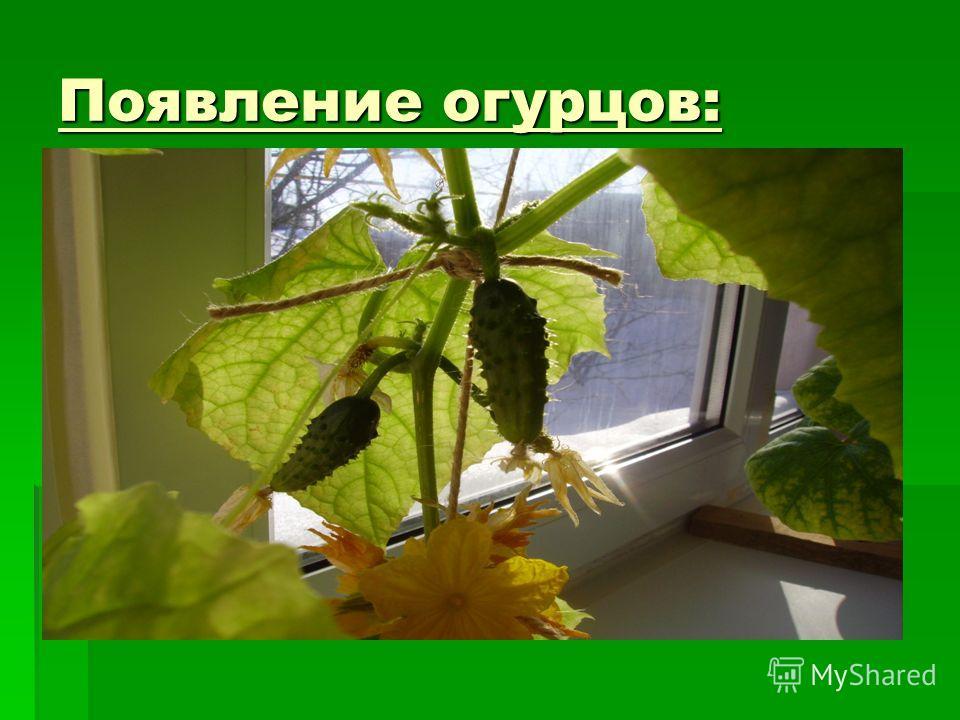 Появление огурцов: