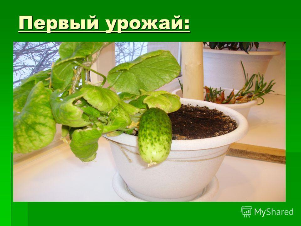Первый урожай: