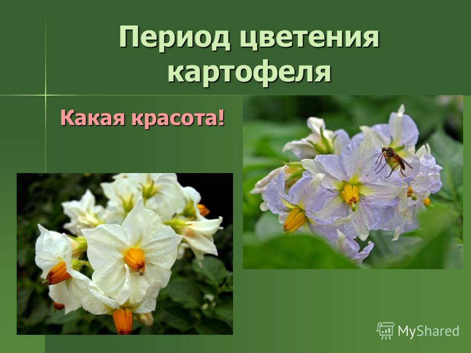 Период цветения картофеля Какая красота!