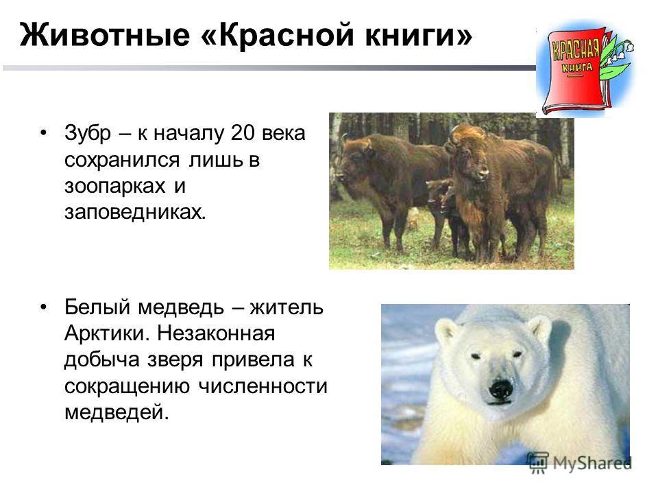 Зубр – к началу 20 века сохранился лишь в зоопарках и заповедниках. Белый медведь – житель Арктики. Незаконная добыча зверя привела к сокращению численности медведей. Животные «Красной книги»