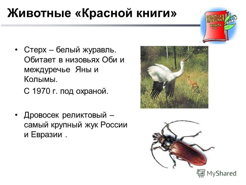Стерх – белый журавль. Обитает в низовьях Оби и междуречье Яны и Колымы. С 1970 г. под охраной. Дровосек реликтовый – самый крупный жук России и Евразии. Животные «Красной книги»