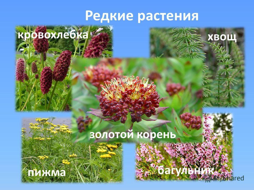 Редкие растения кровохлебка хвощ пижма багульник золотой корень