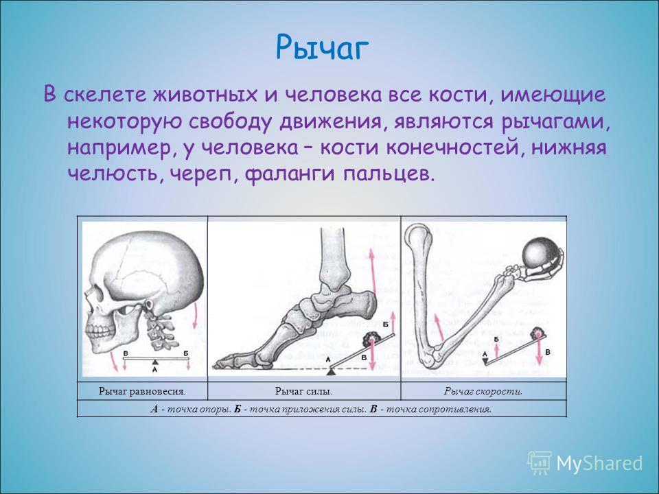 Рычаг В скелете животных и человека все кости, имеющие некоторую свободу движения, являются рычагами, например, у человека – кости конечностей, нижняя челюсть, череп, фаланги пальцев. Рычаг равновесия.Рычаг силы.Рычаг скорости. А - точка опоры. Б - т