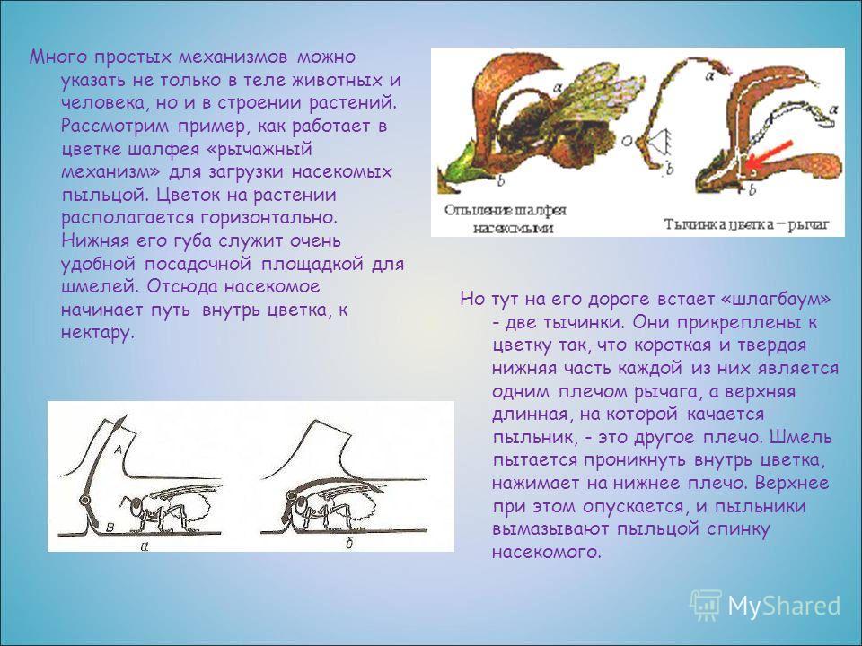 Много простых механизмов можно указать не только в теле животных и человека, но и в строении растений. Рассмотрим пример, как работает в цветке шалфея «рычажный механизм» для загрузки насекомых пыльцой. Цветок на растении располагается горизонтально.