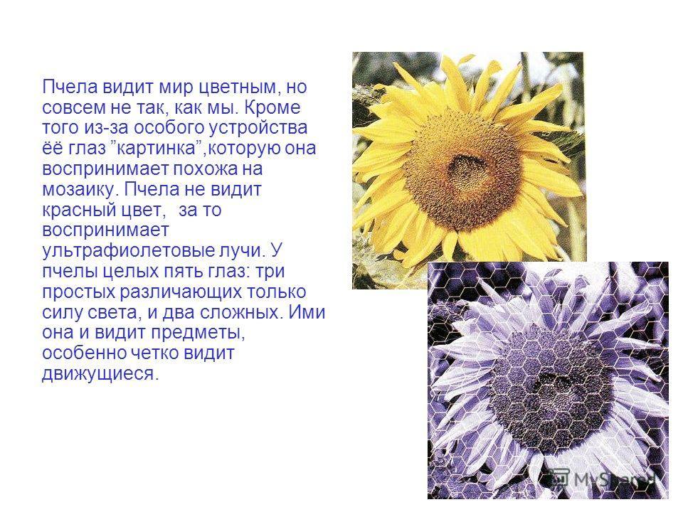 Пчела видит мир цветным, но совсем не так, как мы. Кроме того из-за особого устройства ёё глаз картинка,которую она воспринимает похожа на мозаику. Пчела не видит красный цвет, за то воспринимает ультрафиолетовые лучи. У пчелы целых пять глаз: три пр