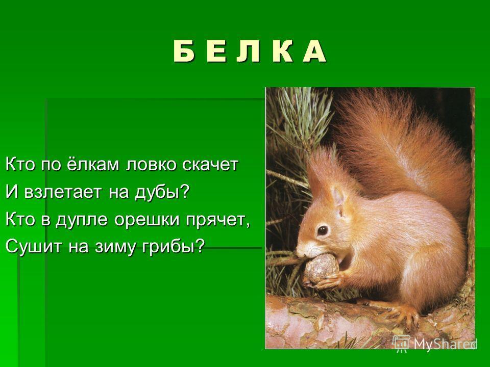 Б Е Л К А Кто по ёлкам ловко скачет И взлетает на дубы? Кто в дупле орешки прячет, Сушит на зиму грибы?