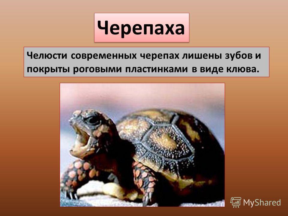 Черепаха Челюсти современных черепах лишены зубов и покрыты роговыми пластинками в виде клюва.