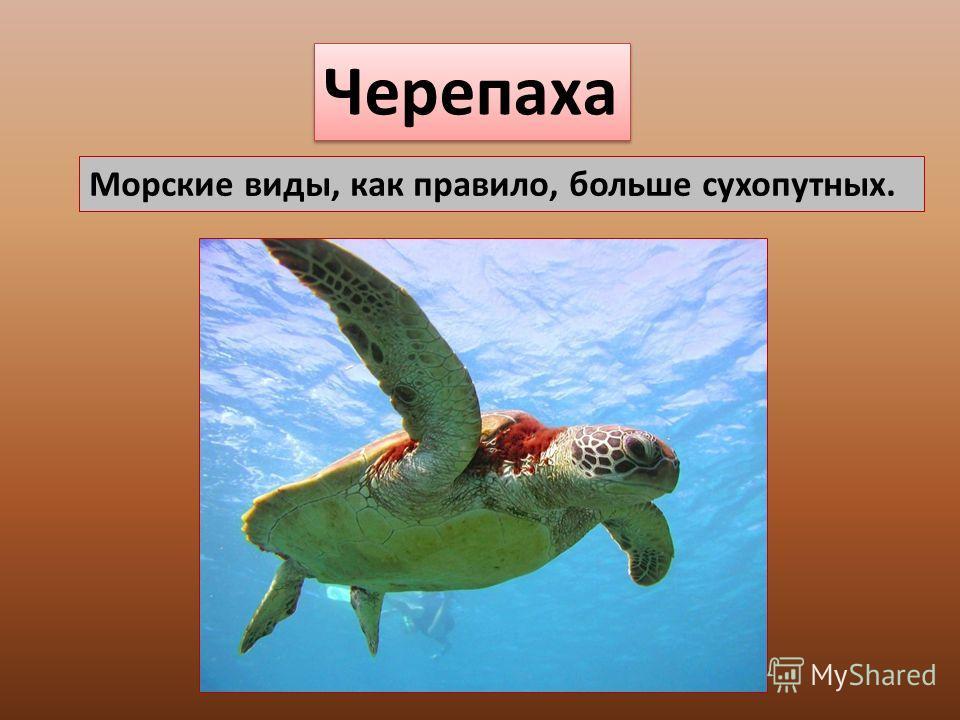Черепаха Морские виды, как правило, больше сухопутных.