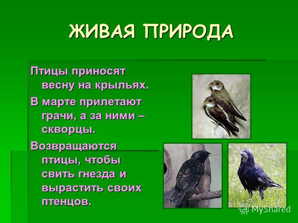 ЖИВАЯ ПРИРОДА Птицы приносят весну на крыльях. В марте прилетают грачи, а за ними – скворцы. Возвращаются птицы, чтобы свить гнезда и вырастить своих птенцов.