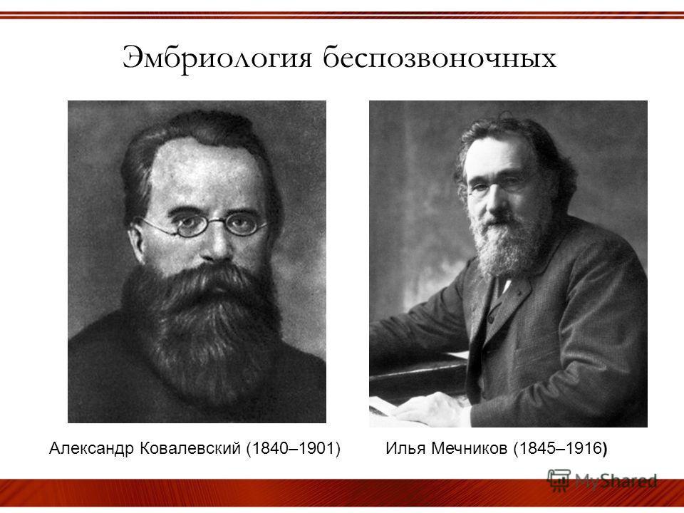 Эмбриология беспозвоночных Александр Ковалевский (1840–1901) Илья Мечников (1845–1916)