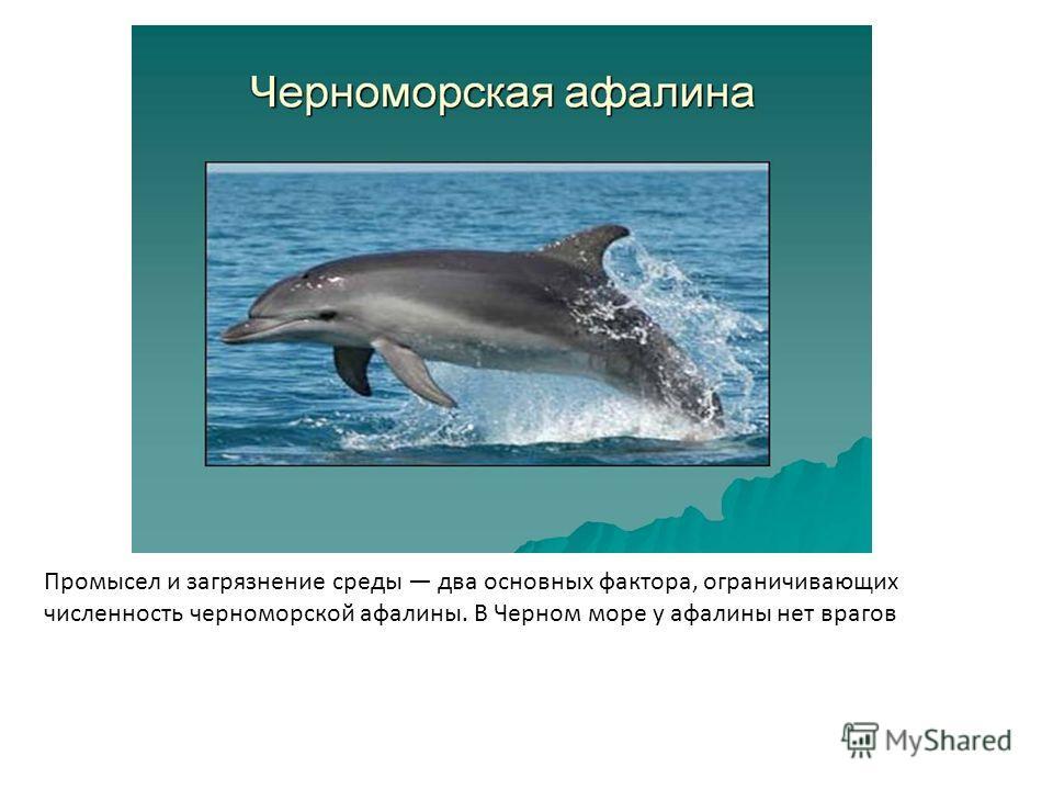 Промысел и загрязнение среды два основных фактора, ограничивающих численность черноморской афалины. В Черном море у афалины нет врагов