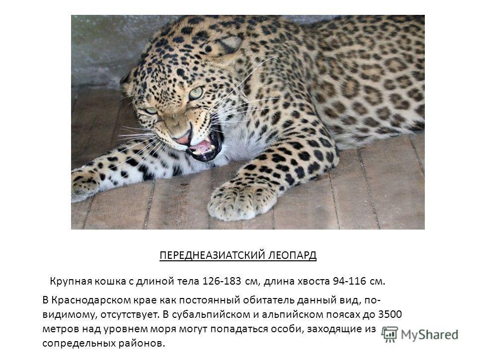 Крупная кошка с длиной тела 126-183 см, длина хвоста 94-116 см. В Краснодарском крае как постоянный обитатель данный вид, по- видимому, отсутствует. В субальпийском и альпийском поясах до 3500 метров над уровнем моря могут попадаться особи, заходящие