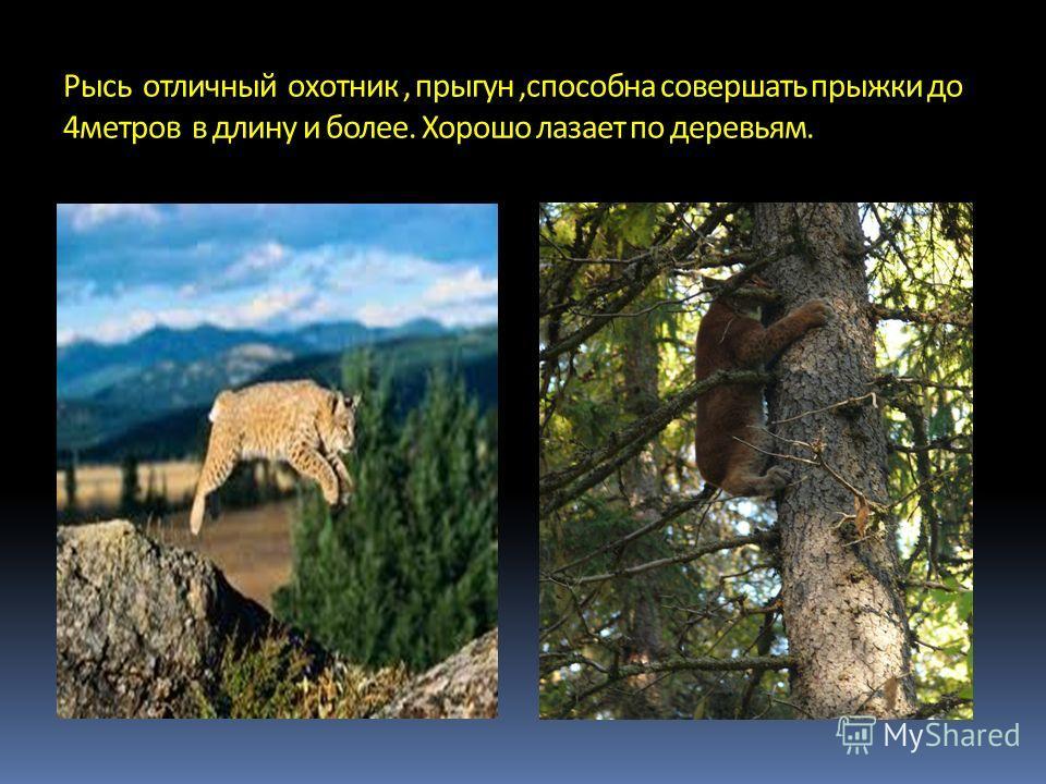 Рысь играет важную селекционную роль в природе, уничтожая больных и слабых животных.