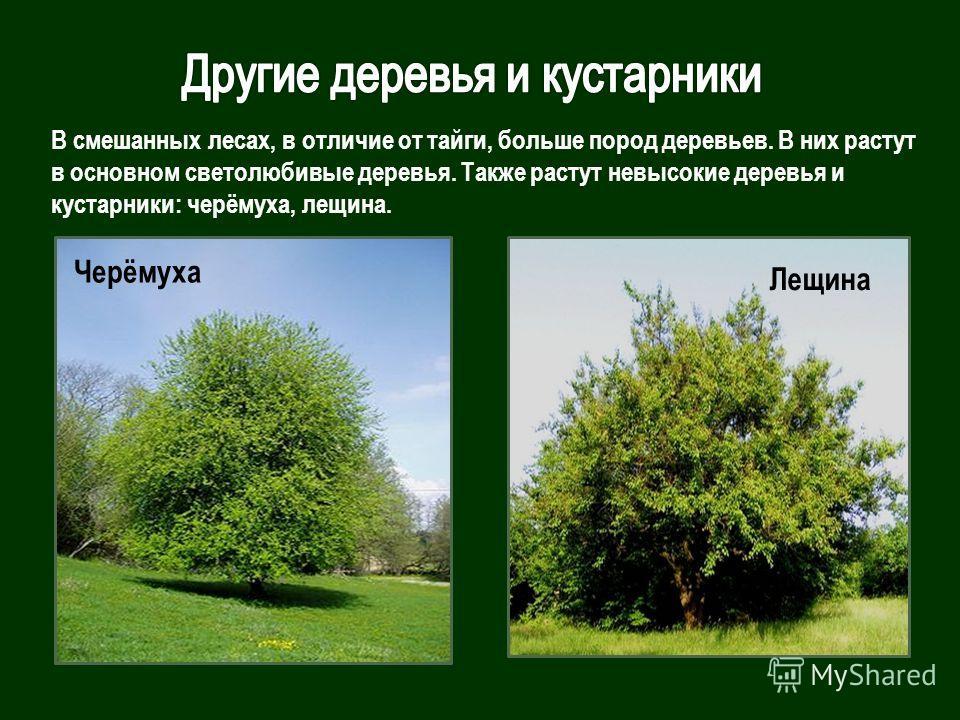 Черёмуха Лещина В смешанных лесах, в отличие от тайги, больше пород деревьев. В них растут в основном светолюбивые деревья. Также растут невысокие деревья и кустарники: черёмуха, лещина.