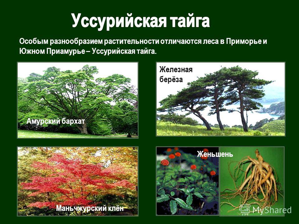Особым разнообразием растительности отличаются леса в Приморье и Южном Приамурье – Уссурийская тайга. Женьшень Амурский бархат Железная берёза Маньчжурский клён