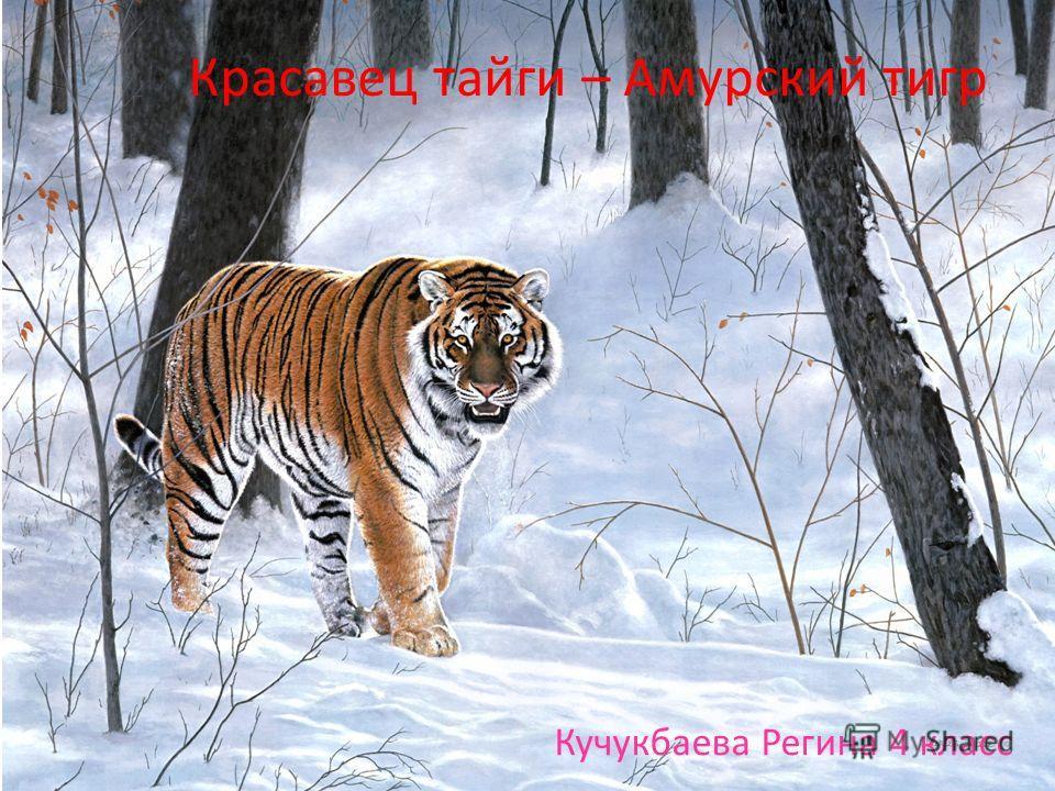 Красавец тайги – Амурский тигр Кучукбаева Регина 4 класс