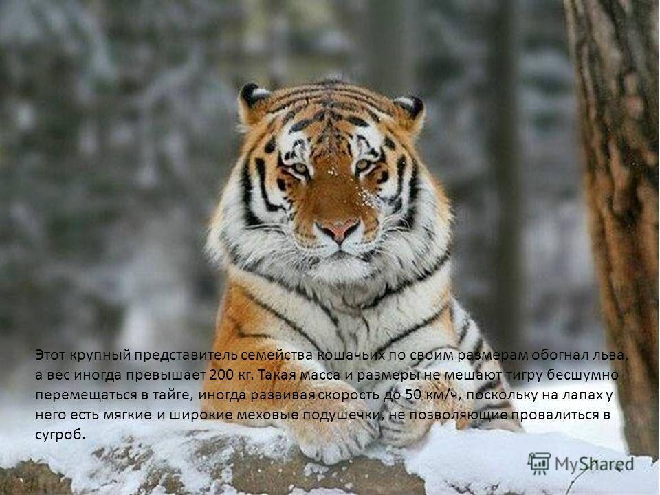 Этот крупный представитель семейства кошачьих по своим размерам обогнал льва, а вес иногда превышает 200 кг. Такая масса и размеры не мешают тигру бесшумно перемещаться в тайге, иногда развивая скорость до 50 км/ч, поскольку на лапах у него есть мягк