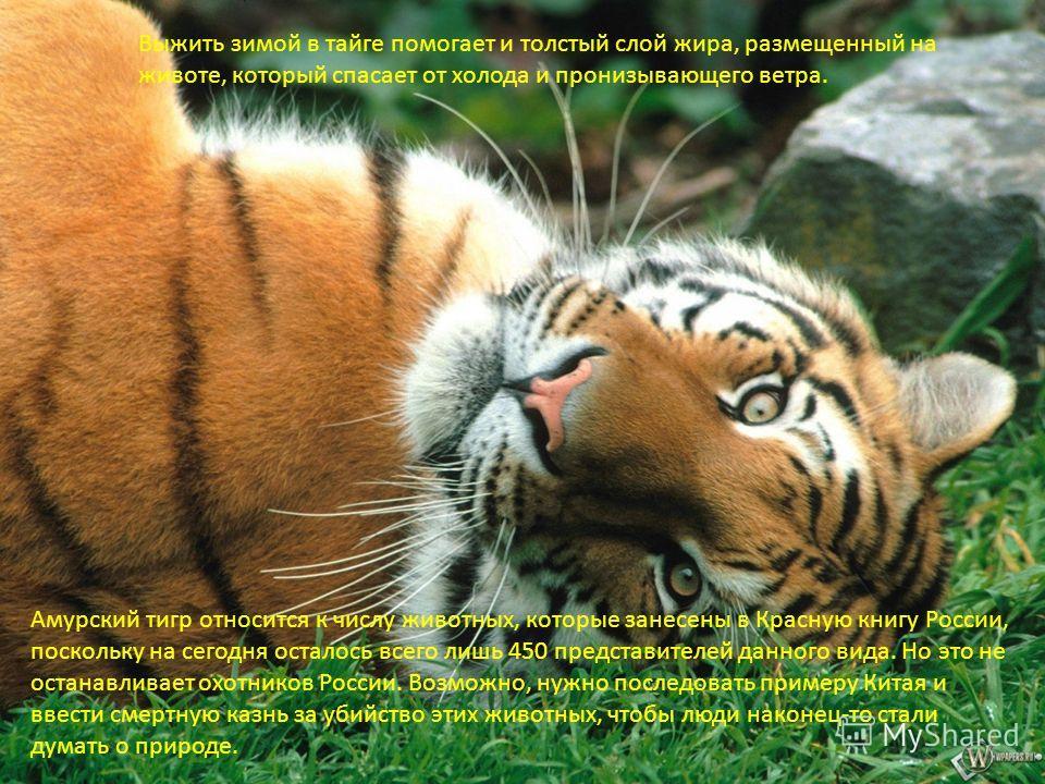 Выжить зимой в тайге помогает и толстый слой жира, размещенный на животе, который спасает от холода и пронизывающего ветра. Амурский тигр относится к числу животных, которые занесены в Красную книгу России, поскольку на сегодня осталось всего лишь 45