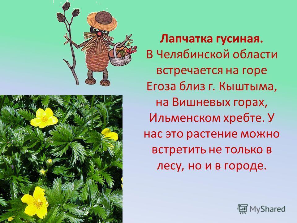 Лапчатка гусиная. В Челябинской области встречается на горе Егоза близ г. Кыштыма, на Вишневых горах, Ильменском хребте. У нас это растение можно встретить не только в лесу, но и в городе.