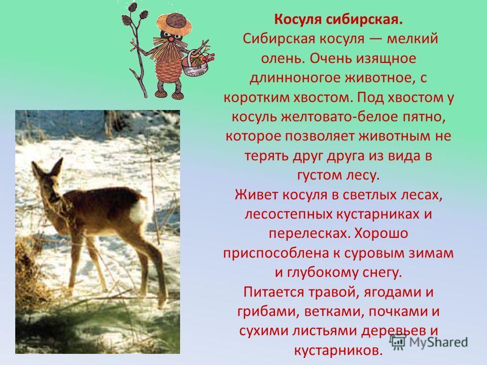 Косуля сибирская. Сибирская косуля мелкий олень. Очень изящное длинноногое животное, с коротким хвостом. Под хвостом у косуль желтовато-белое пятно, которое позволяет животным не терять друг друга из вида в густом лесу. Живет косуля в светлых лесах,