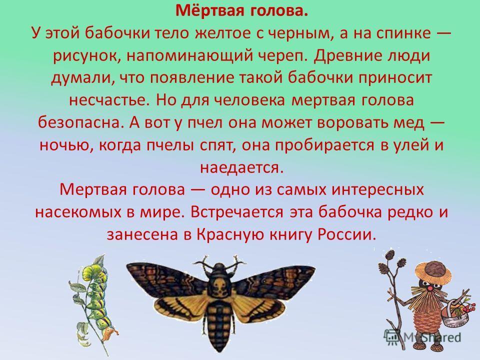 Мёртвая голова. У этой бабочки тело желтое с черным, а на спинке рисунок, напоминающий череп. Древние люди думали, что появление такой бабочки приносит несчастье. Но для человека мертвая голова безопасна. А вот у пчел она может воровать мед ночью, ко