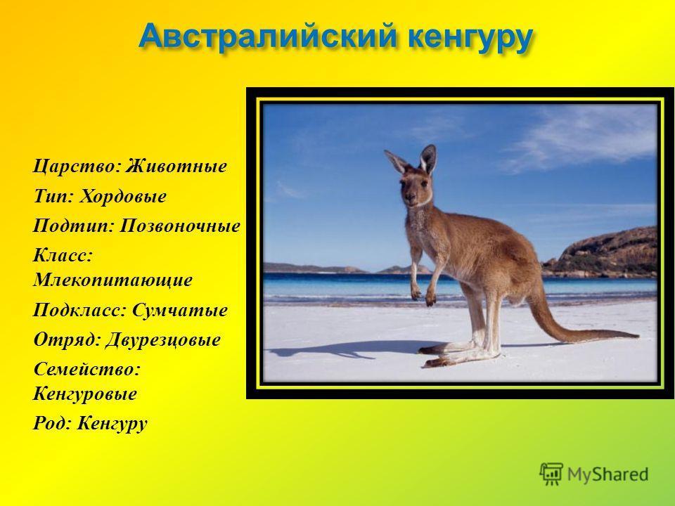 Австралийский кенгуру Царство : Животные Тип : Хордовые Подтип : Позвоночные Класс : Млекопитающие Подкласс : Сумчатые Отряд : Двурезцовые Семейство : Кенгуровые Род : Кенгуру