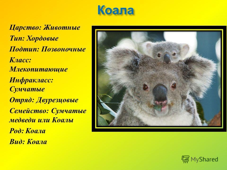 Коала Царство : Животные Тип : Хордовые Подтип : Позвоночные Класс : Млекопитающие Инфракласс : Сумчатые Отряд : Двурезцовые Семейство : Сумчатые медведи или Коалы Род : Коала Вид : Коала