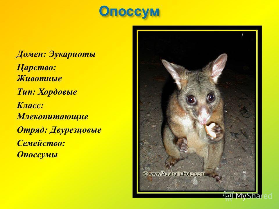 Опоссум Домен : Эукариоты Царство : Животные Тип : Хордовые Класс : Млекопитающие Отряд : Двурезцовые Семейство : Опоссумы