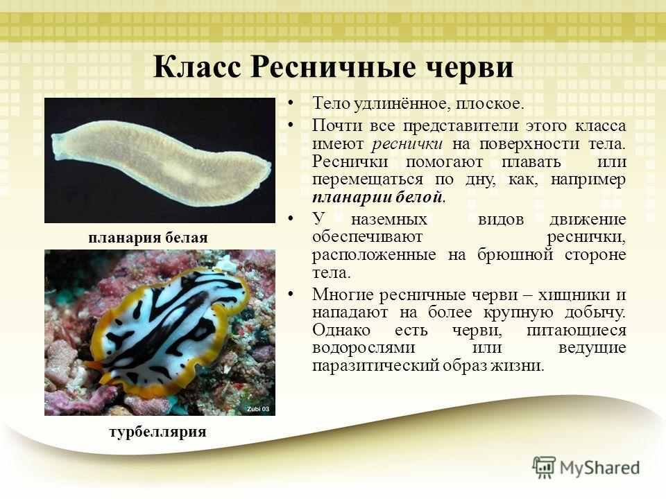 Класс Ресничные черви Тело удлинённое, плоское. Почти все представители этого класса имеют реснички на поверхности тела. Реснички помогают плавать или перемещаться по дну, как, например планарии белой. У наземных видов движение обеспечивают реснички,