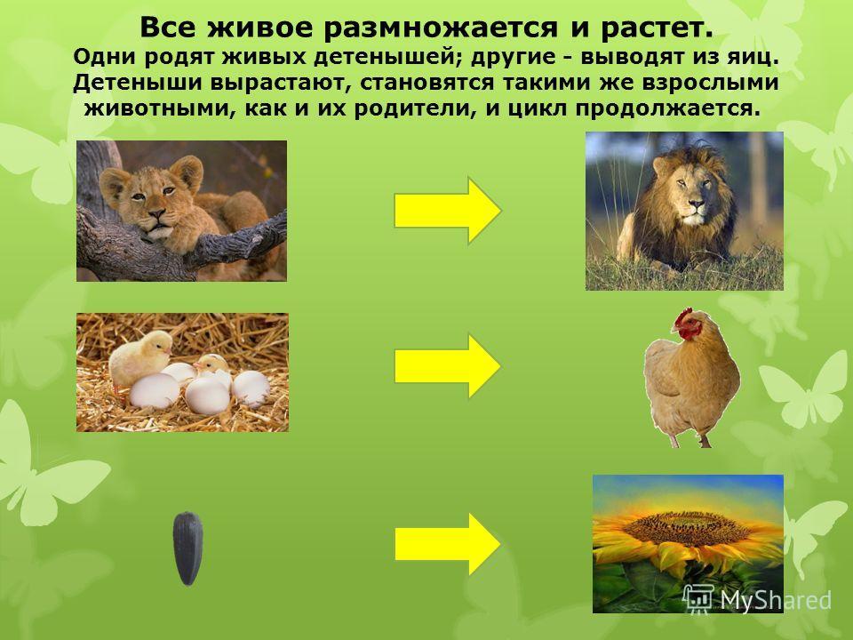 Все живое размножается и растет. Одни родят живых детенышей; другие - выводят из яиц. Детеныши вырастают, становятся такими же взрослыми животными, как и их родители, и цикл продолжается.