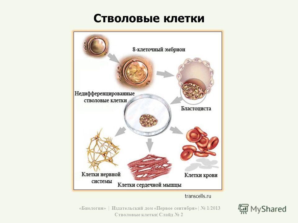 Стволовые клетки transcells.ru «Биология» | Издательский дом «Первое сентября» | 1/2013 Стволовые клетки| Слайд 2