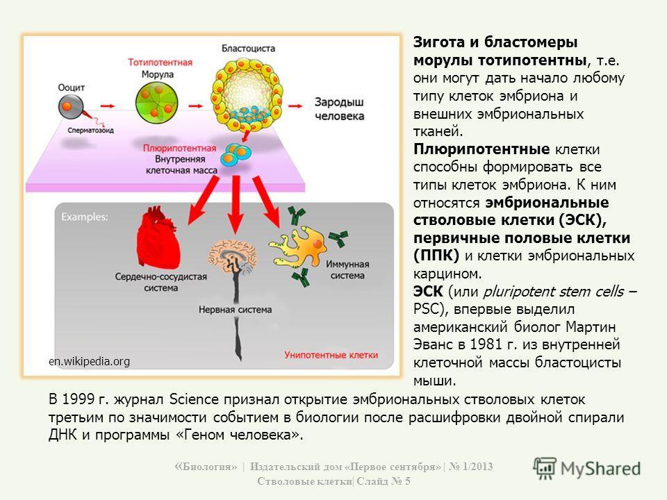 Зигота и бластомеры морулы тотипотентны, т.е. они могут дать начало любому типу клеток эмбриона и внешних эмбриональных тканей. Плюрипотентные клетки способны формировать все типы клеток эмбриона. К ним относятся эмбриональные стволовые клетки (ЭСК),