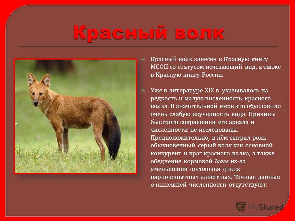 Красный волк занесен в Красную книгу МСОП со статусом исчезающий вид, а также в Красную книгу России. Уже в литературе XIX в. указывалось на редкость и малую численность красного волка. В значительной мере это обусловило очень слабую изученность вида