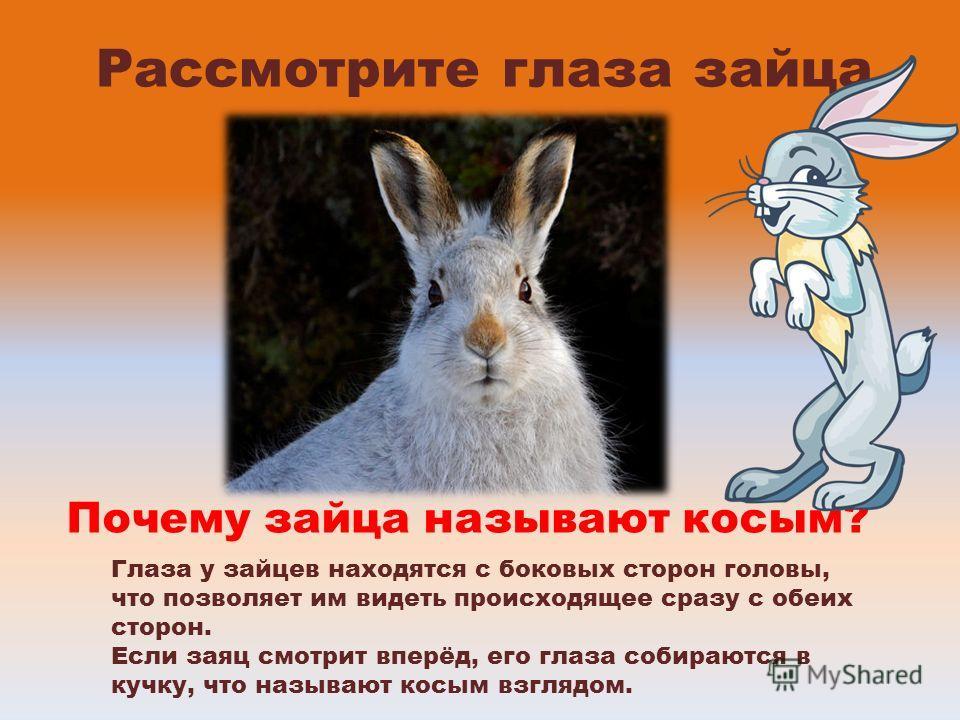 Рассмотрите глаза зайца Почему зайца называют косым? Глаза у зайцев находятся с боковых сторон головы, что позволяет им видеть происходящее сразу с обеих сторон. Если заяц смотрит вперёд, его глаза собираются в кучку, что называют косым взглядом.
