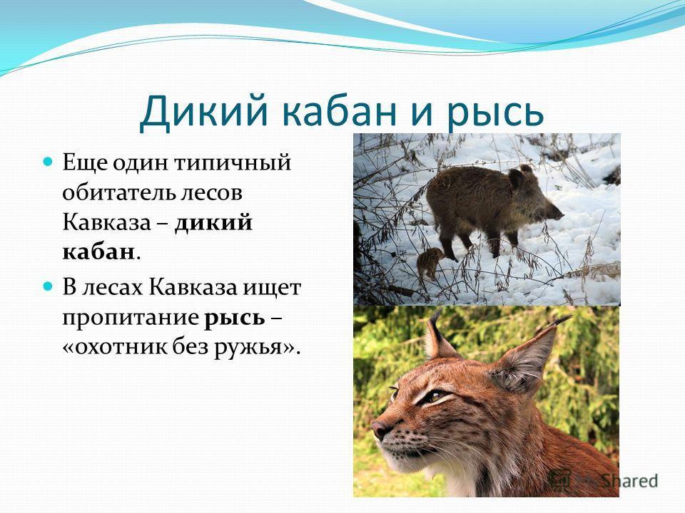 Дикий кабан и рысь Еще один типичный обитатель лесов Кавказа – дикий кабан. В лесах Кавказа ищет пропитание рысь – «охотник без ружья».