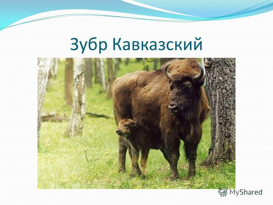 Зубр Кавказский